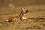 Ethiopian Wolf (anis simensis) lying down, Sanetti Plateau, Bale Mountains, Ethiopia
