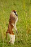 Patas Monkey (erythrocebus patas) standing on hind legs, portrait, Murchison Falls National Park, Uganda