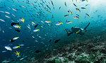 Underwater photographer taking picture of a school of fusilier fish, Raja Ampat, Sorong, Nusa Tenggara Barat, Indonesia