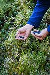Man harvesting fresh, ripe blueberries