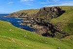 Sheep grazing by sea in Lochniver, Scotland, Europe
