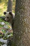 European brown bear (Ursus arctos) behind tree in Notranjska forest, Slovenia