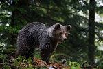 European brown bear (Ursus arctos) looking down in Notranjska forest, Slovenia