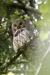 Ural owl (Strix uralensis) looking down from tree in Notranjska forest, Slovenia