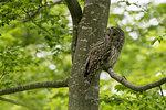 Ural owl (Strix uralensis) perched in tree looking back, Notranjska forest, Slovenia