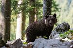 European brown bear (Ursus arctos) on rocky ground in Notranjska forest, Slovenia