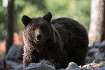 European brown bear (Ursus arctos), portrait, Notranjska forest, Slovenia