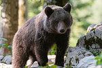 European brown bear (Ursus arctos) on rocks in Notranjska forest, Slovenia
