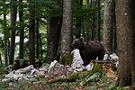 European brown bear (Ursus arctos) standing looking in Notranjska forest, Slovenia