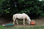 Horse in Taketomi Island, Okinawa Prefecture, Japan