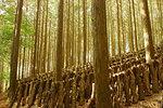 Shiitake mushroom cultivation