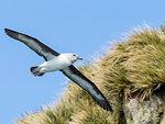 Adult grey-headed albatross, Thalassarche chrysostoma, in flight at Elsehul, South Georgia Island, Atlantic Ocean