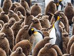 Adult king penguins, Aptenodytes patagonicus, amongst chicks at Salisbury Plain, South Georgia Island, Atlantic Ocean