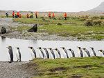 Adult king penguins, Aptenodytes patagonicus, amongst tourists in Fortuna Bay, South Georgia Island, Atlantic Ocean