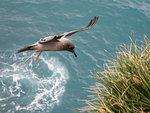 An adult light-mantled albatross, Phoebetria palpebrata, landing at nesting site in Elsehul, South Georgia Island, Atlantic Ocean