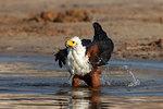 African fish eagle, Haliaeetus vocifer, bathing, Chobe river, Botswana, Southern Africa