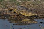 Nile crocodile, Crocodylus niloticus,  Chobe river, Botswana, Southern Africa