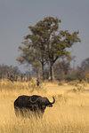Cape buffalo, Syncerus caffer,  Khwai Conservancy, Botswana, Southern Africa