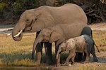 African elephants, Loxodonta africana, drinking, Chobe river, Botswana, Southern Africa