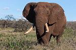 African elephant bull, Loxodonta africana,  Zimanga private game reserve, KwaZulu-Natal, South Africa