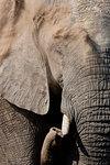 African elephant bull, Loxodonta africana, dusting, Khwai conservancy, Botswana, Southern Africa,