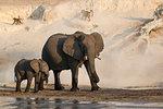 African elephants, Loxodonta africana,  Chobe river, Botswana, Southern Africa