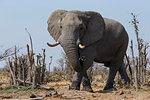 African elephant bull, Loxodonta africana,  Khwai conservancy, Botswana, Southern Africa