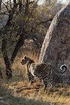 Pregnant leopard, Panthera pardus,  Khwai conservancy, Botswana, Southern Africa