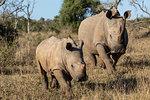 White rhinos, Ceratotherium simum,  iMfolozi game reserve, KwaZulu-Natal, South Africa