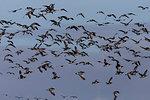Barnacle geese, Branta leucopsis, in flight, Caerlaverock WWT reserve, Dumfries and Galloway, Scotland, United Kingdom, Europe