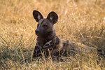 African wild dog, Lycaon pictus,  Khwai conservancy, Okavango delta, Botswana, Southern Africa