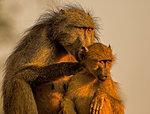Female chacma baboon tending juvenile, portrait, Kruger National park, South Africa