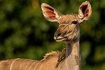 Kudu looking over it's shoulder, side view, Kruger National Park, South Africa