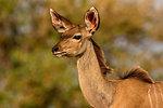 Kudu, head and shoulder side view, Kruger National Park, South Africa