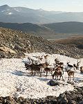 Reindeer standing on snow on Besseggen Ridge in Jotunheimen National Park, Norway