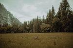 Deer grazing in nature reserve, Yosemite National Park, California, United States