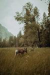 Deers grazing in nature reserve, Yosemite National Park, California, United States