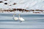 Two swans, Ostadvatnet frozen lake, Lofoten Islands, Norway
