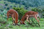 Impala (Aepyceros melampus) fighting, Kariega Game Reserve, South Africa