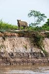 Jaguar (Panthera onca) on river bank, Pantanal, Mato Grosso, Brazil