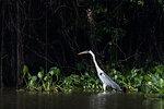 Cocoi heron (Ardea cocoi) in river, Pantanal, Mato Grosso, Brazil