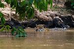 Jaguar (Panthera onca) wading in river, Pantanal, Mato Grosso, Brazil