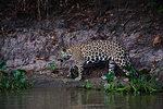 Jaguar (Panthera onca) walking on river bank, Pantanal, Mato Grosso, Brazil