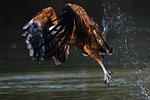 Black-collared hawk (Busarellus nigricollis) fishing, Pantanal, Mato Grosso, Brazil