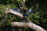Anhinga (Anhinga anhinga) perched on tree, Pantanal, Mato Grosso, Brazil