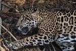 Jaguar (Panthera onca) lying down, Pantanal, Mato Grosso, Brazil