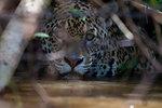 Jaguar (Panthera onca) hiding and waiting for prey, Pantanal, Mato Grosso, Brazil