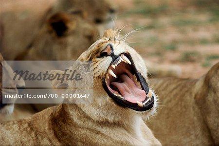 Lionne grognent Parc National Kruger en Afrique du Sud