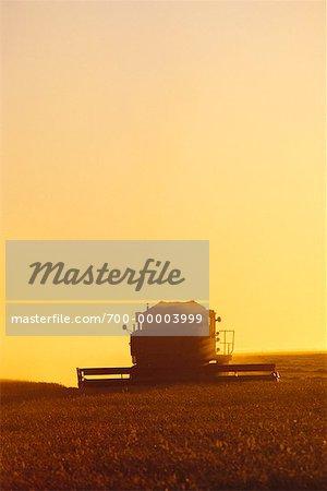 La récolte de blé au coucher du soleil près de Sainte-Agathe, Manitoba, Canada