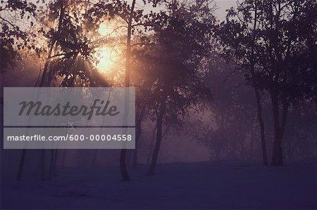 Sunrays through Trees with Fog Alberta, Canada
